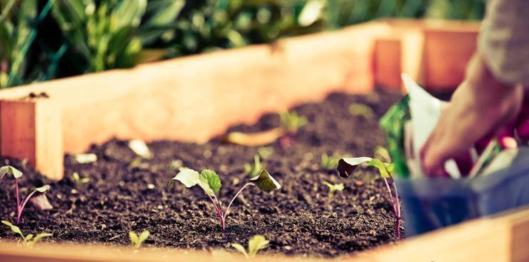 cultivo de mandragora