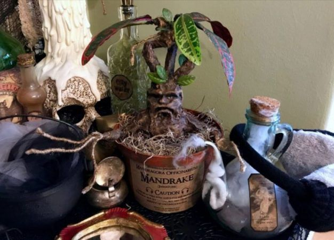 mandragoras harry potter